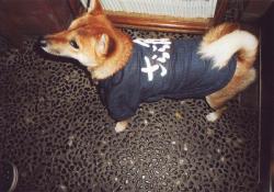 犬用オリジナル作務衣着用姿