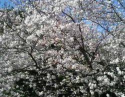 桜 花見 作務衣